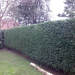 Trimmed conifer hedge